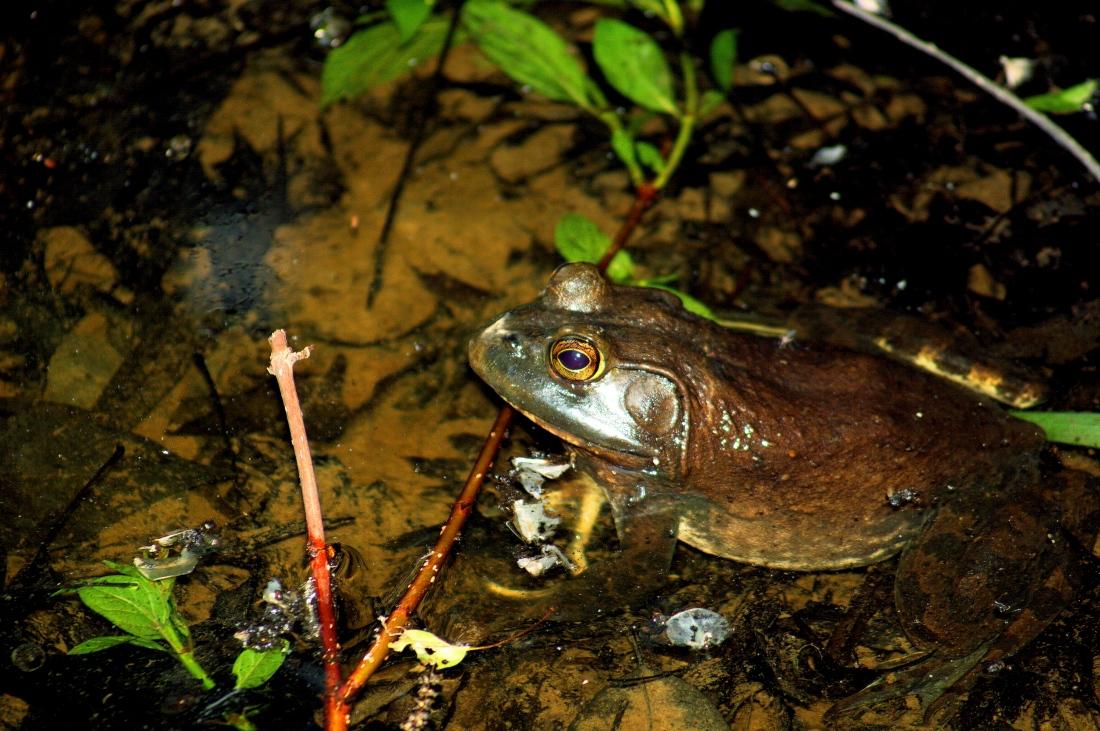 Bullfrog_001