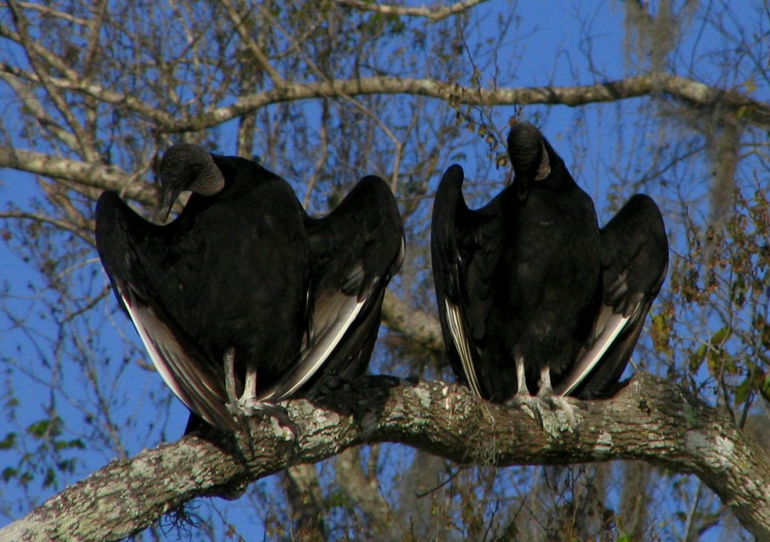 American_Black_Vulture_-_St_Johns_River