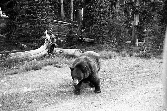 img146 Bear encounter – Yellowstone N P, Wyoming, USA (1)