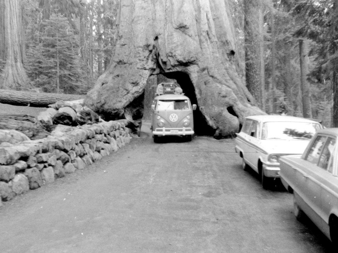 California driving through giant tree.jpg