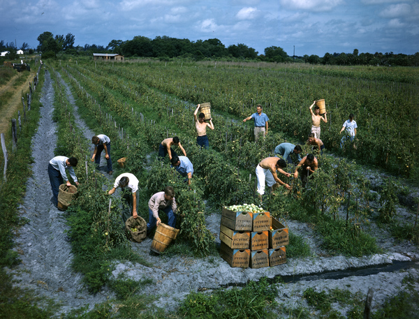Future_Farmers_of_America_picking_tomatoes-_Palmetto,_Florida_(8630398003)