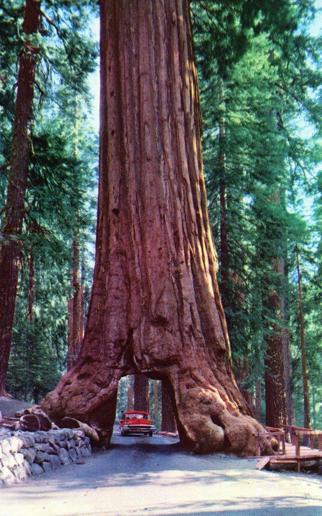 "P38 YOSEMITE NATIONAL PARK, CALIFORNIA ""WAWONA"" OR TUNNEL TREE"
