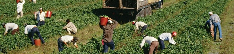 Tomato picking by hand in California